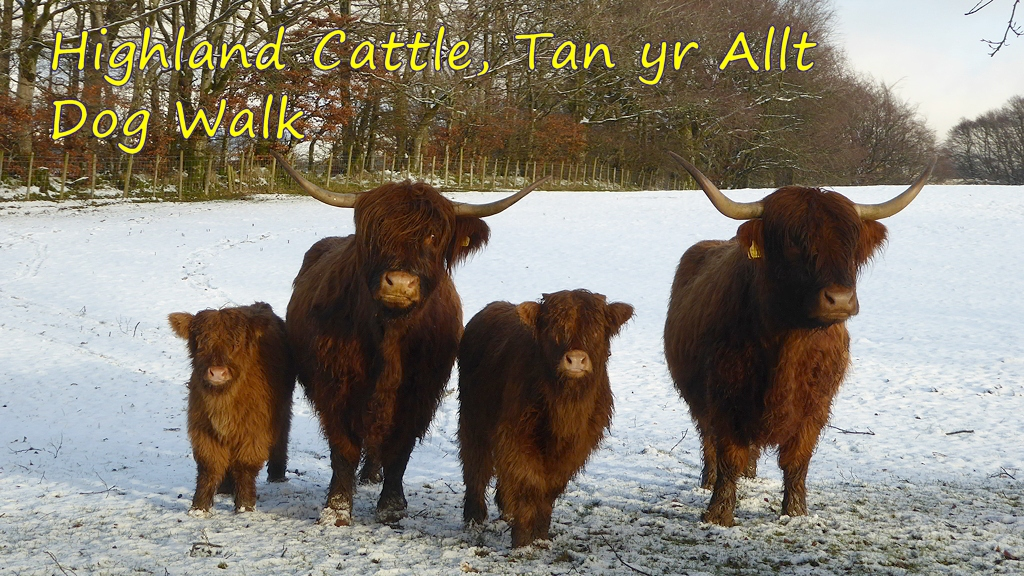 Highland Cattle on Dog Walk from Tan yr Allt
